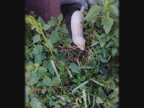 Избягала норка в двора на жител от с. Маджерито