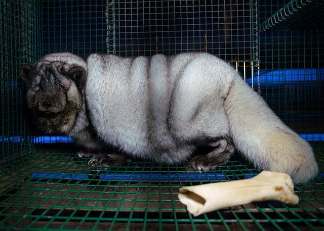 Лисица, страдаща от свръх наднормено тегло във финландска ферма.