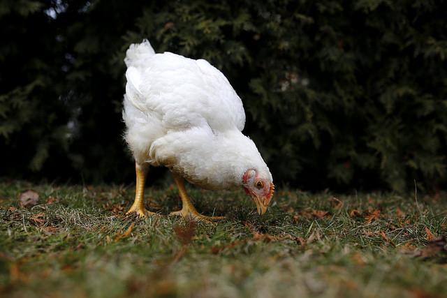 На снимката: Спасен бройлер, снимка на Andrew Skowron. IKEA въвежда по-високи стандарти за хуманно отношение към пилетата.