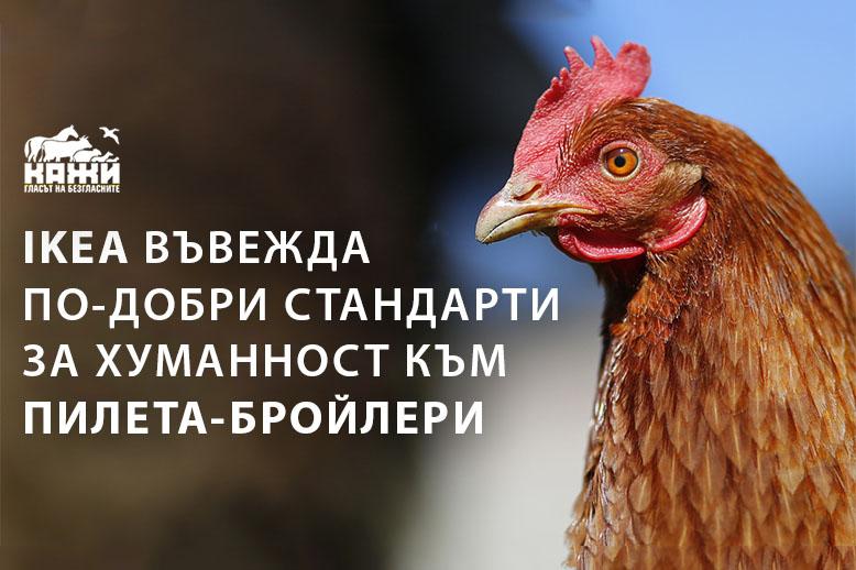 IKEA въвежда по-добри стандарти за пилета-бройлери