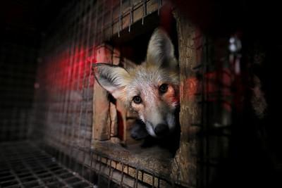 lisica v kletka