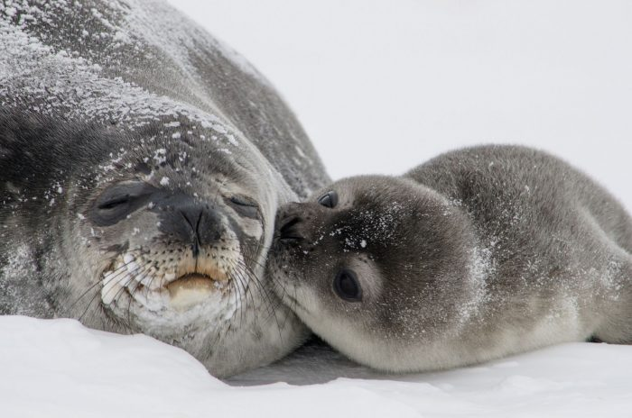 майка и бебе тюлени, убивани заради тюленови кожи