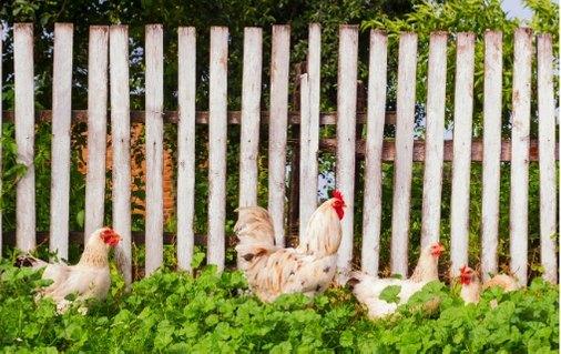 Кокошки до ограда