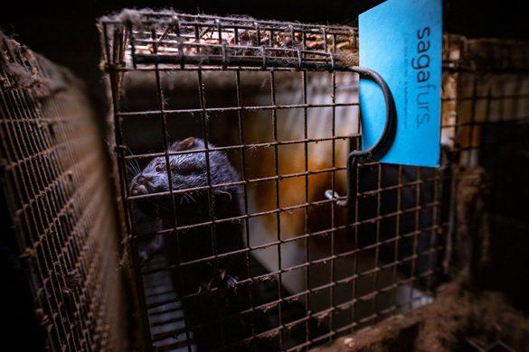Норка в клетка във ферма за кожи, работеща със Saga Furs.